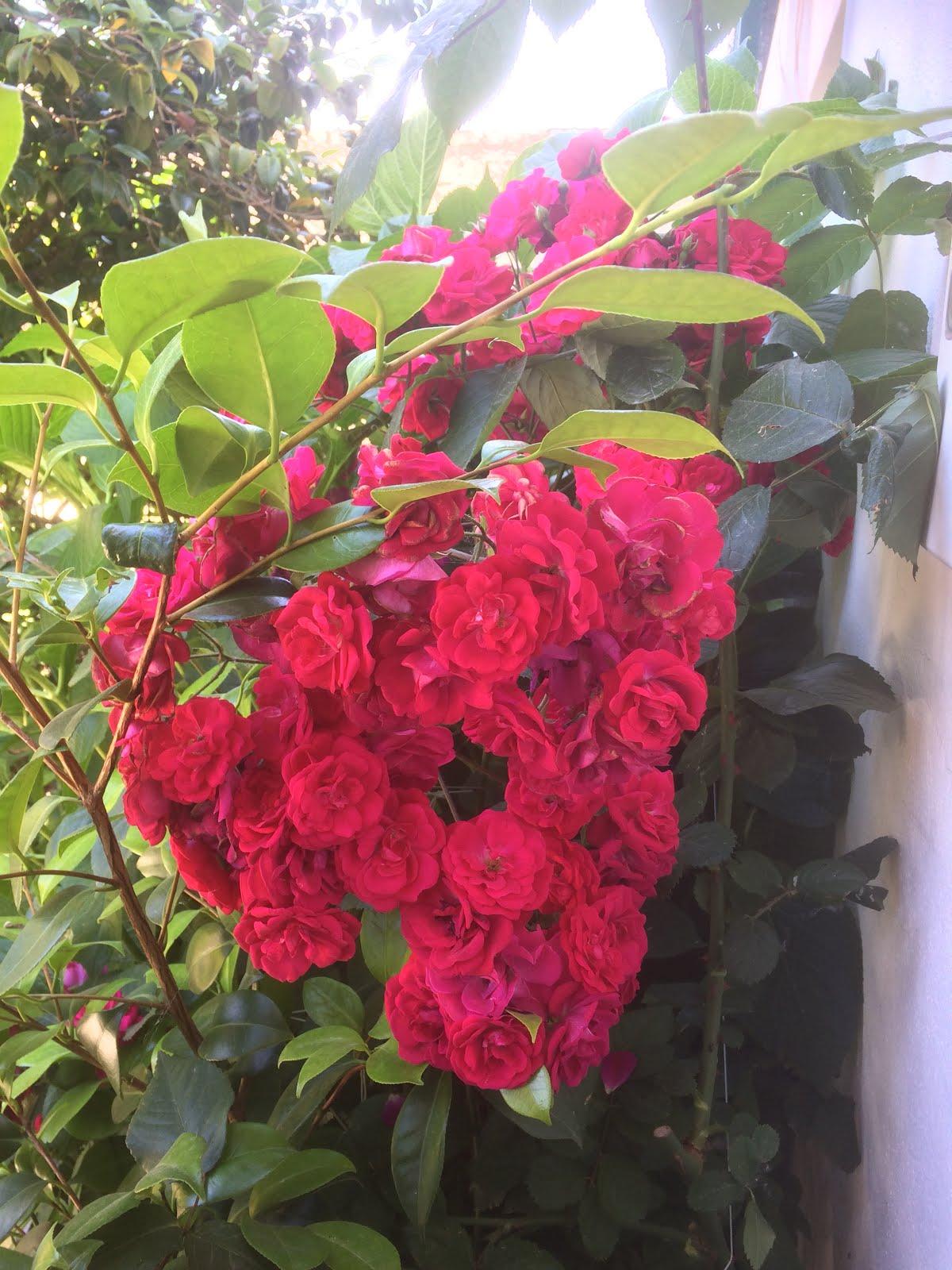 Maio, mês das Rosas
