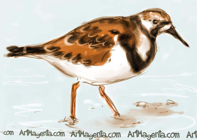 The Ruddy Turnstone is a bird sketch by Artmagenta