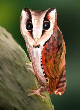 PUCHÓWKA INDYJSKA ( Phodilus badius )