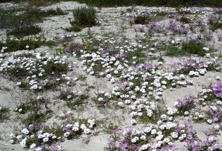 Cederberg-Mountain-Wild-Daisies-Western-Cape