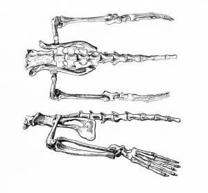 Semantor bones