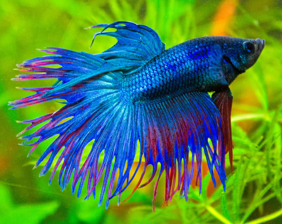 Peces y plantas ornamentales betta splendens luchador for Acuarios ornamentales