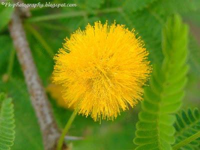 Acacia Flowers