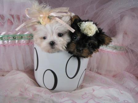 cute teacup maltese puppy yorkie twins