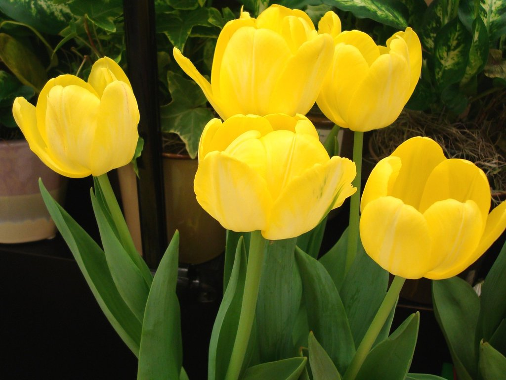 Yellow Tulips Rose Wallpapers