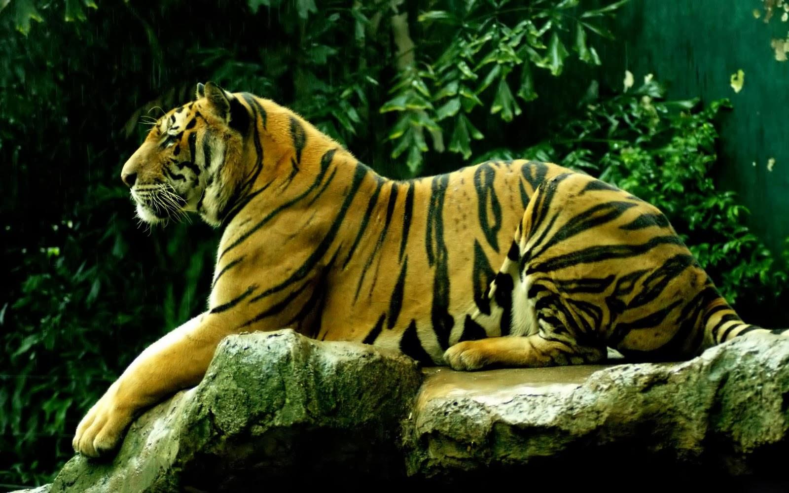desktop 3d white tiger - photo #35