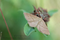 photo papillon de nuit beige