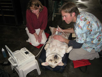 Ron and Karen doing ultrasound on a yellow Lab's belly