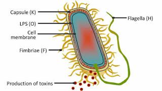 Cấu trúc của vi khuẩn E. coli. Ảnh đại diện