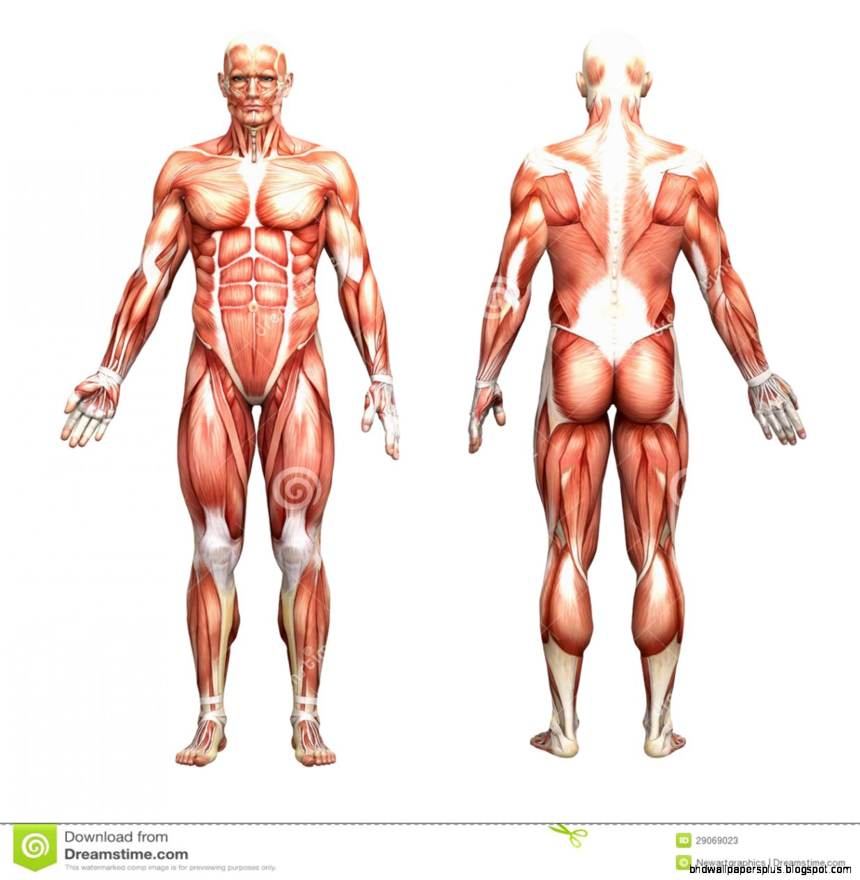 Human Anatomy   Male Muscles Royalty Free Stock Image   Image