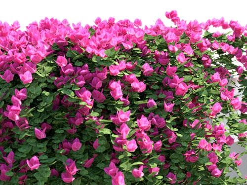 Anisti ibuno flowers for Plant de villa