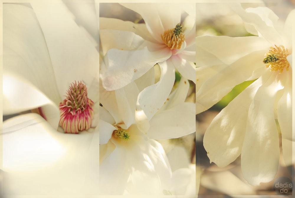 porcelāna magnoliums