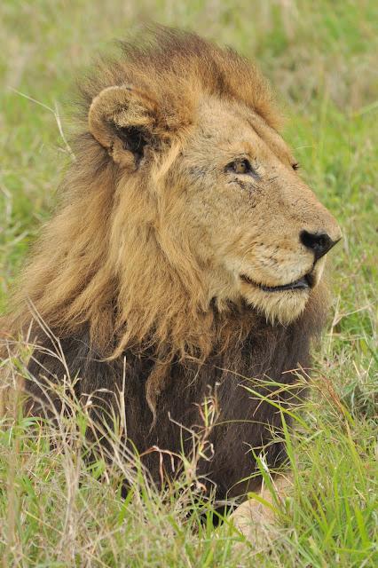 Male lion-