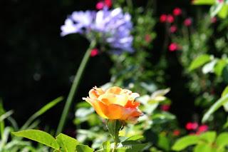 rosas y agapantos