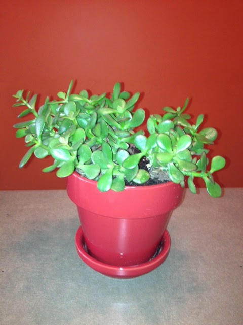 Jade Plant Care Faq Houseplant Care Tips