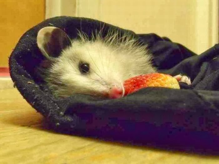 Funny animals of the week - 10 January 2014 (35 pics), funny possum