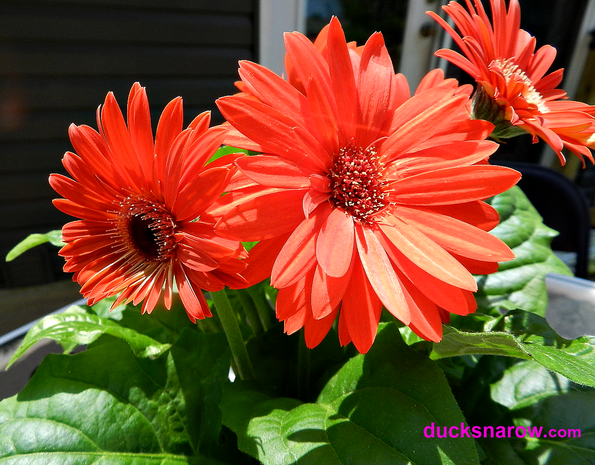 Gerbera Daisies And How To Care For Them Ducks 39 N A Row
