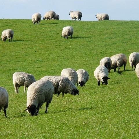 Q279 大きくなった羊