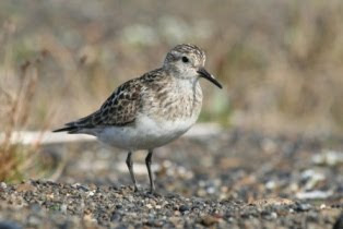 Baird&#39;s Sandpiper
