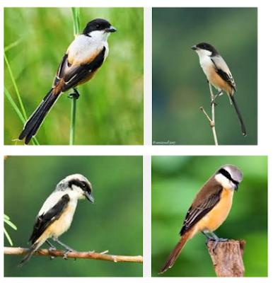 Cara Beternak Burung Cendet