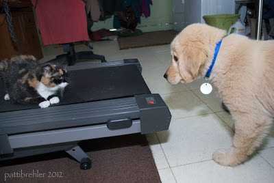 The cat is on the treadmill facing the camera, in a crouched position looking at the puppy. The golden fluffy puppy with a blue collar stands his ground and looks back at her.