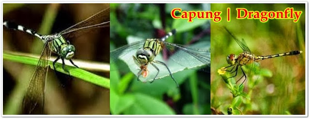 Dragonfly, Capung, Dodok Erok, Tete Iyek, Capung Badak | Pacapaku