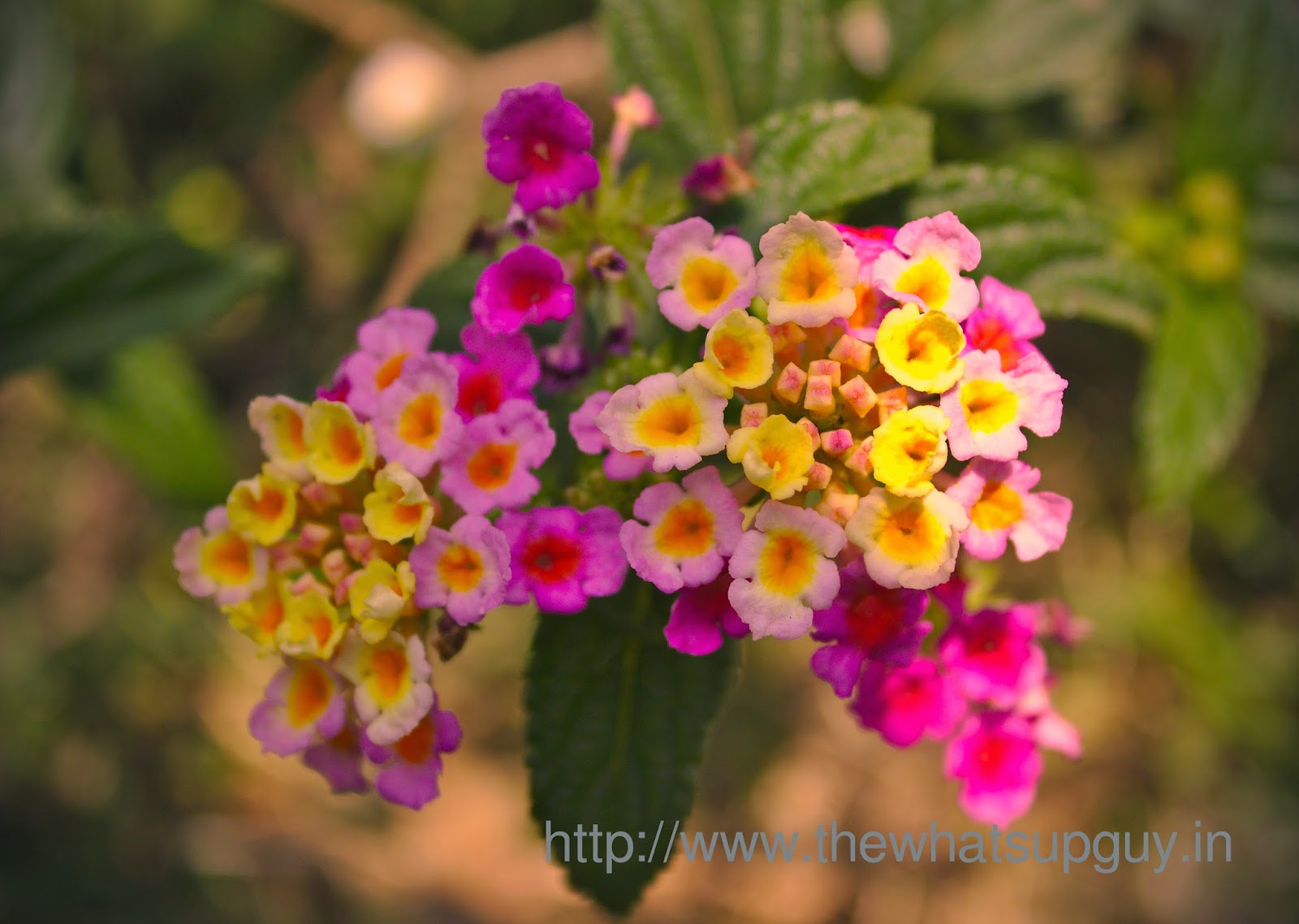What s Up Lantana Flower