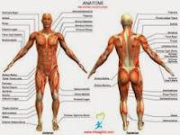 Pengertian Anatomi dan Istilah Istilah tentang Anatomi