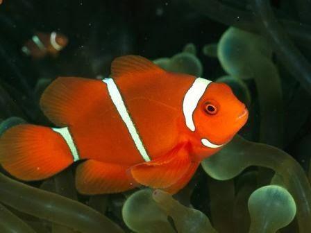 Cara Memasang Widget Animasi Ikan di Blog