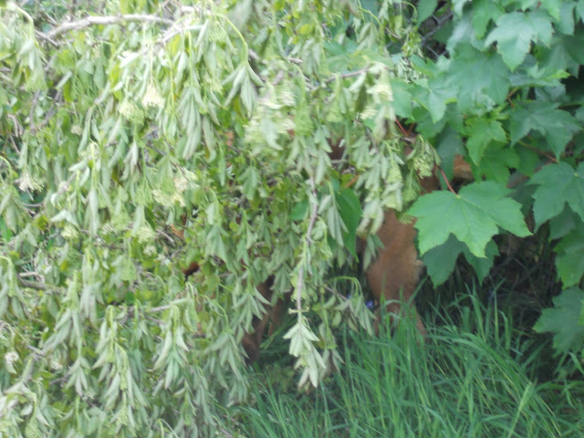 Sheba hiding in the bushes.