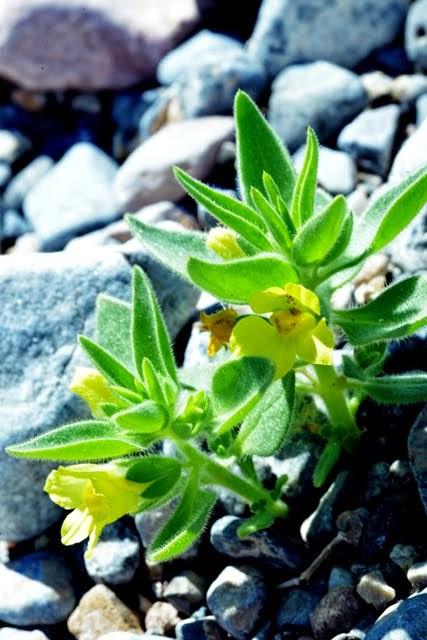 Lesser Mohavea, Mohavea breviflora_1583