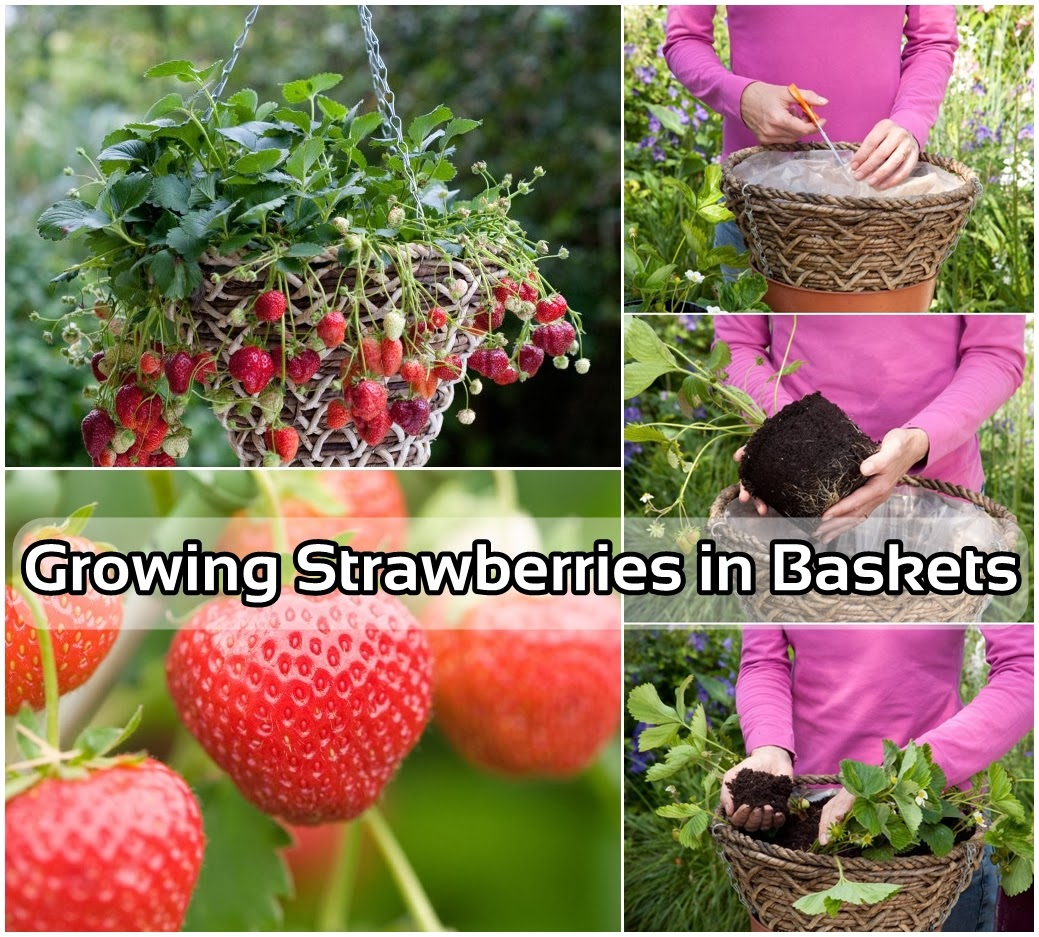 How To Grow Delicious Strawberries In A Basket