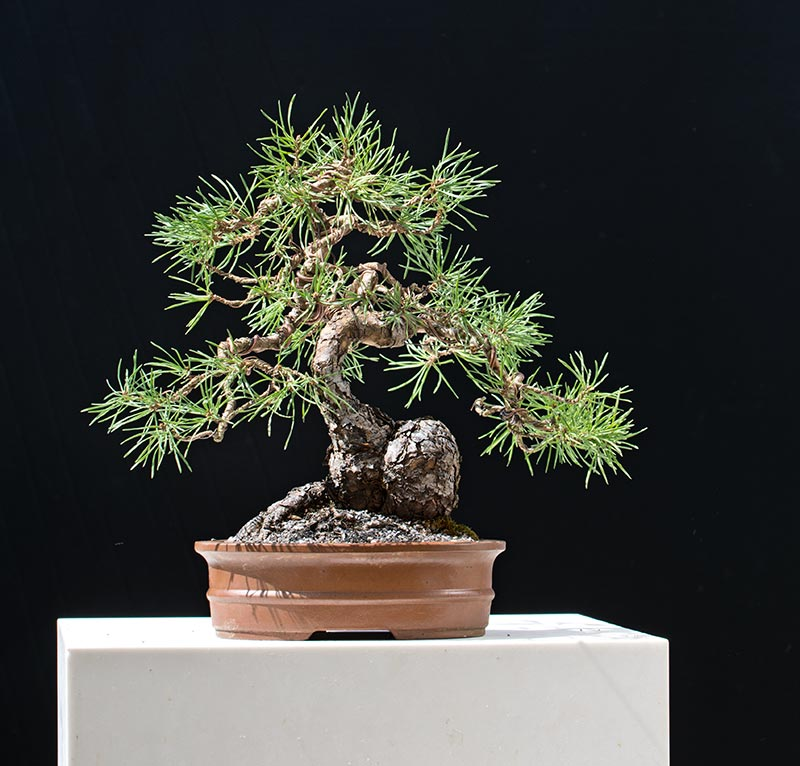 walter pall bonsai adventures scots pine shohin. Black Bedroom Furniture Sets. Home Design Ideas