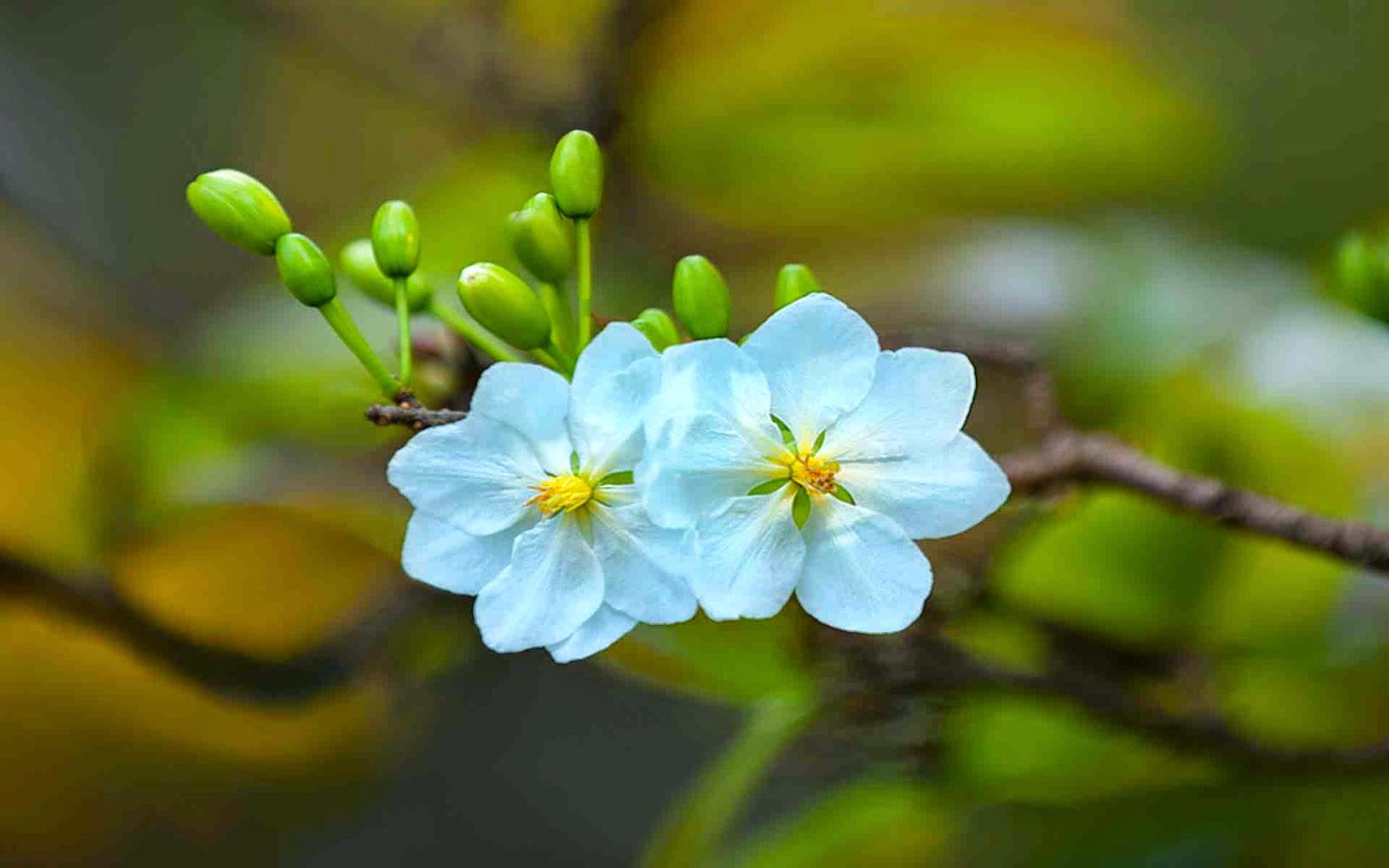 xem ảnh của hoa mai vàng