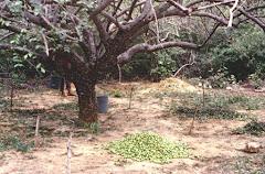 A produção de frutos do imbuzeiro
