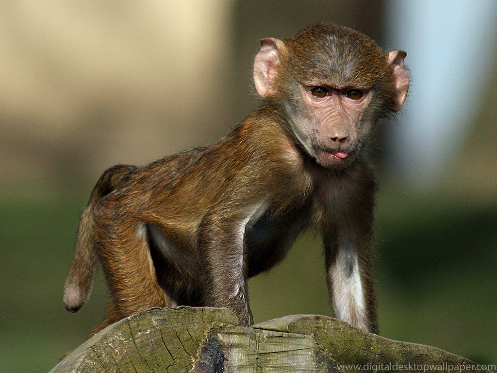 Wallpaper Collections Baboon Wallpapers