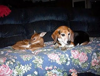 What band name HNAS means - Beagle and deer on the couch