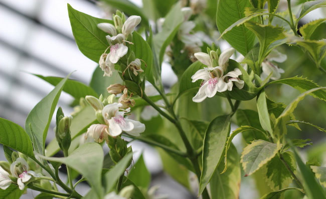Malabar Nut Flowers