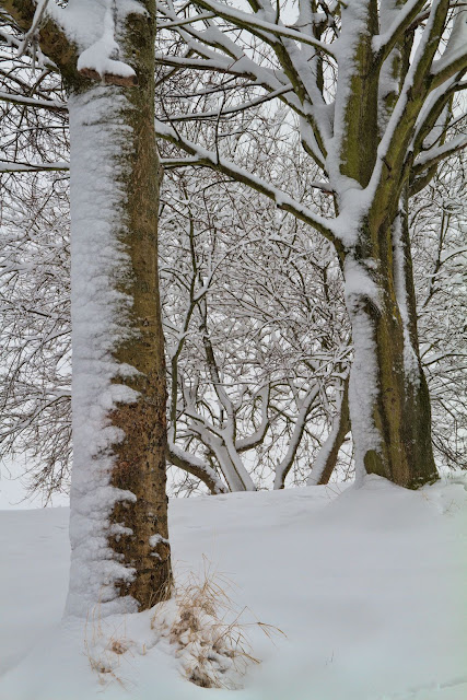 Snow on the Tree Trunks