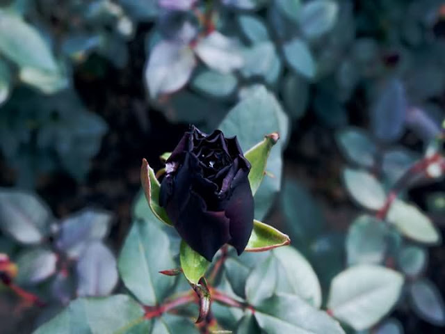 black rose flower blue rose flower green rose flower pink rose flower