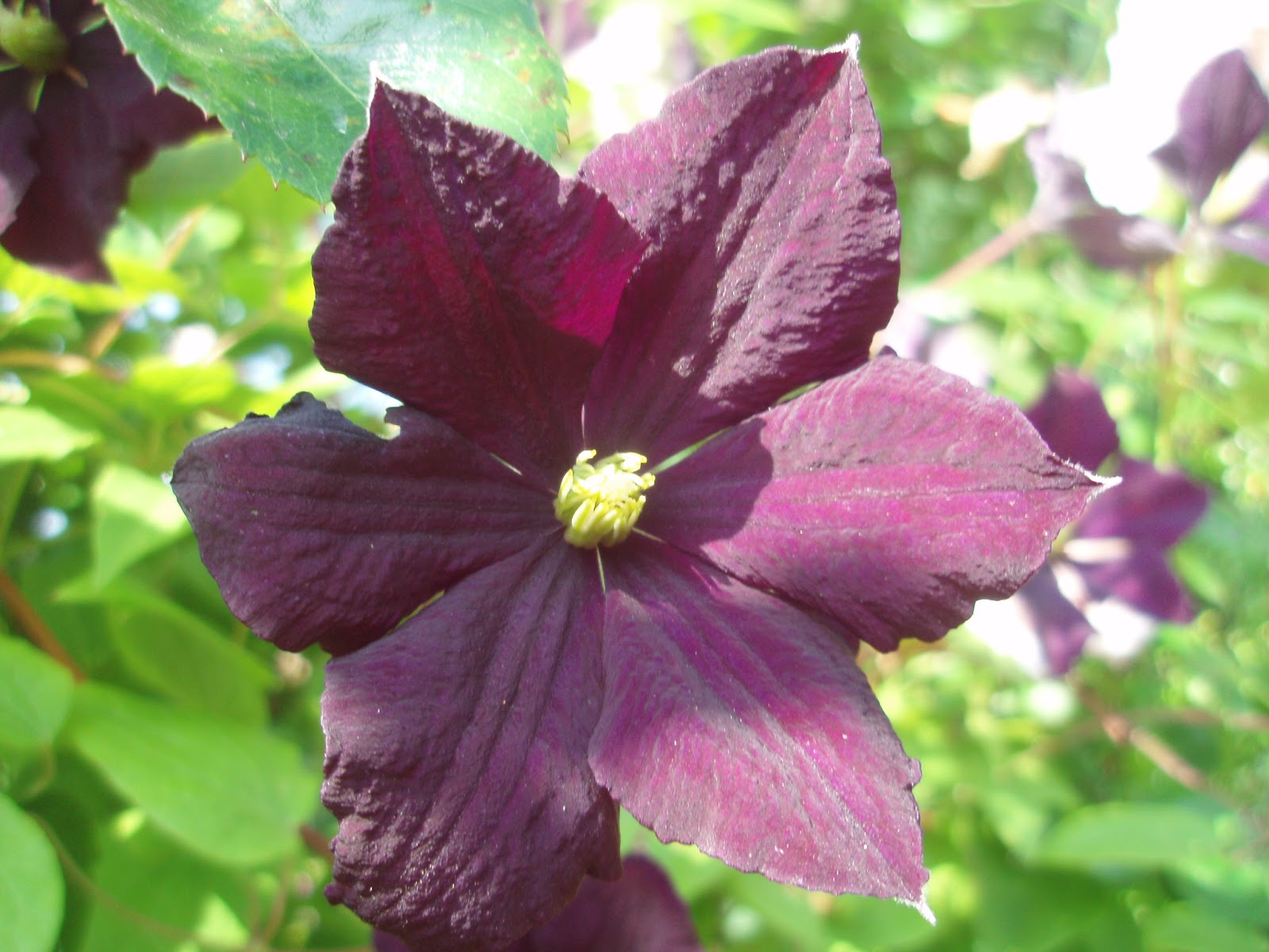 le jardin de la salamandre clematis 39 etoile violette 39. Black Bedroom Furniture Sets. Home Design Ideas