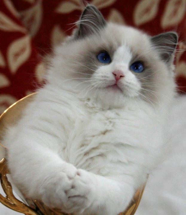 Ragdoll Cats Species Picture | Fun Animals Wiki, Videos ...