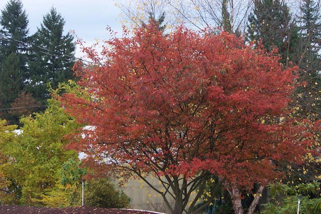Autumn Billiance Serviceberry7