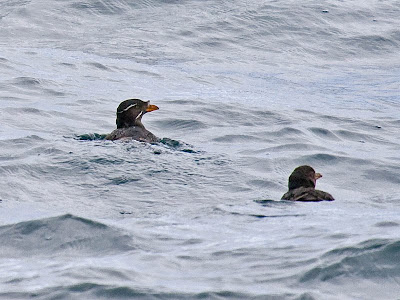 Oregon sea birds: Rhinoceros Auklet
