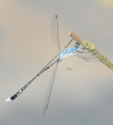 Crenulated Spreadwing (Lestes praemorsus decipiens)