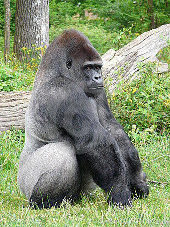 African silverback gorilla - photo#13