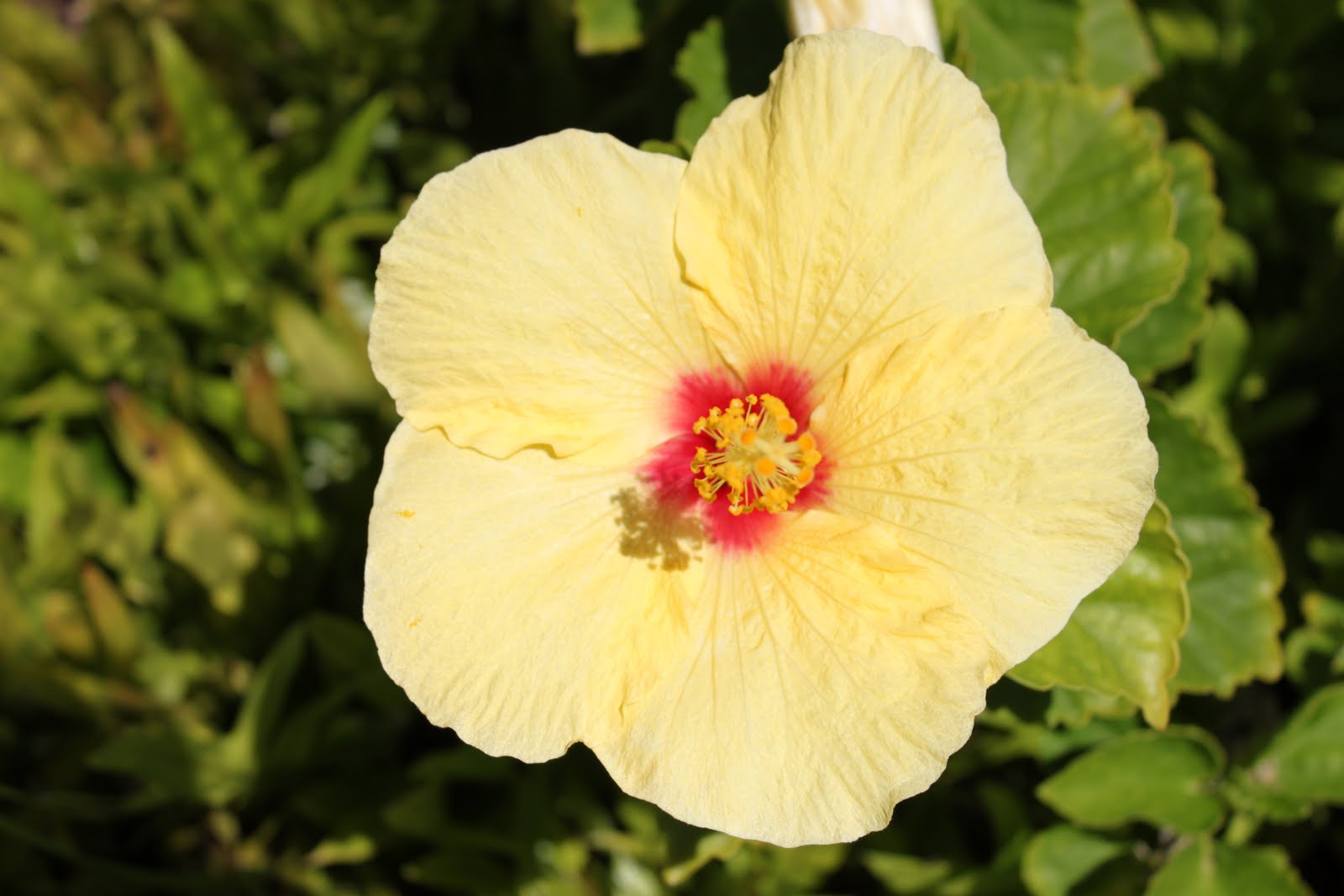 Hawaii State Flower Beautiful Flowers