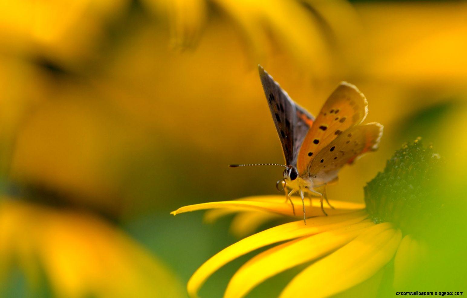flower yellow butterfly wallpaper 1680x1050 1