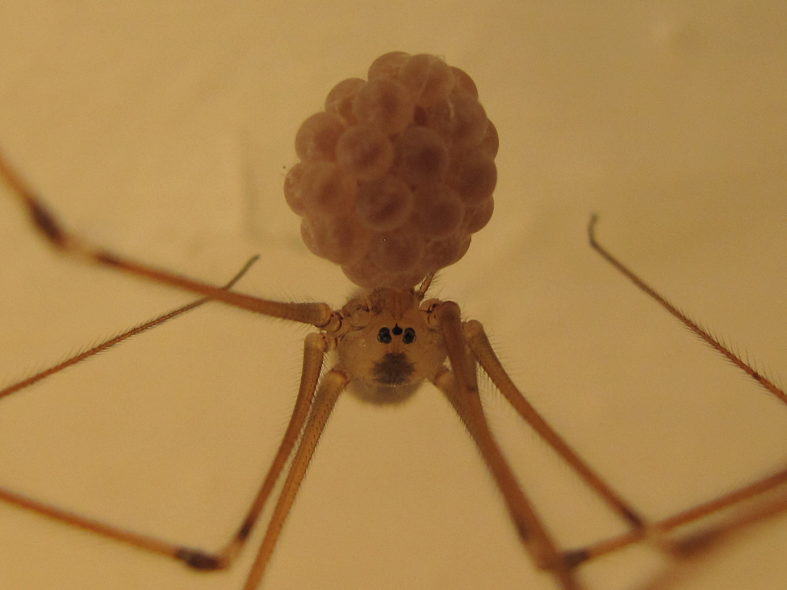 American house spider egg sac - photo#3