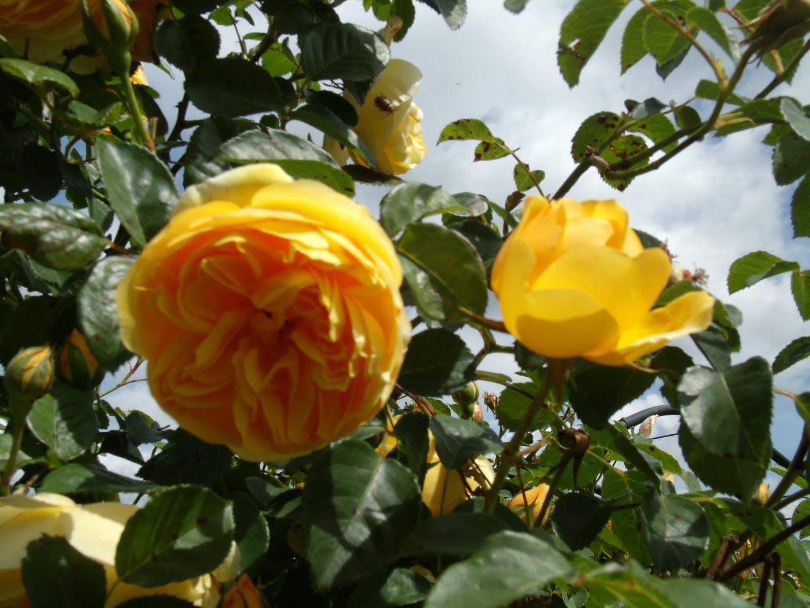 Eurimbla Roses Golden Celebration